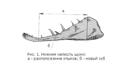 нижняя челюсть щуки