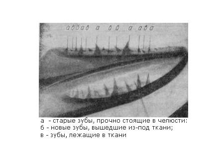 Рентгеновский снимок нижней челюсти щуки