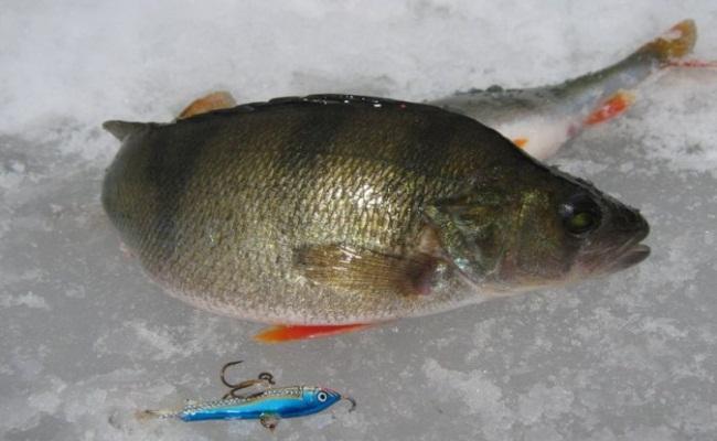 ловля окуня на мелководье зимой
