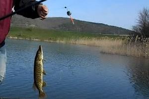 ловля щуки на живца удочкой с поплавком