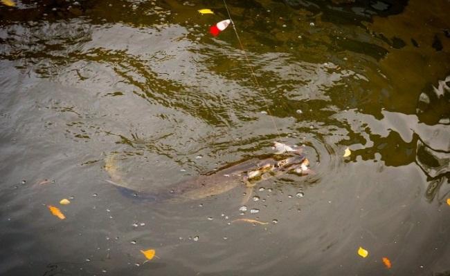 щука на тандем из блесны и мертвой рыбки