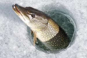 рыба щука как в сказке про емелю
