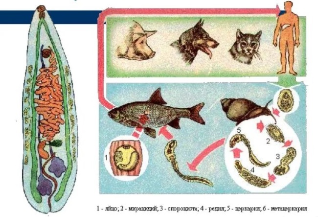 жизненный цикл кошачьей двуустки