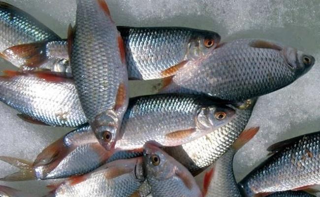 рыба плотва где живет
