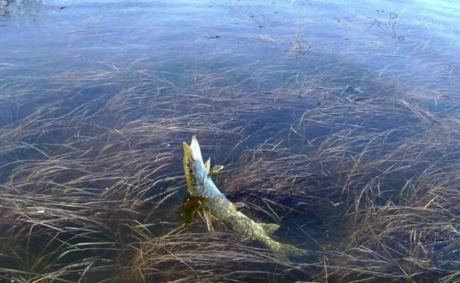 ловля щуки на спиннинг под берегом
