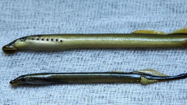 самец миноги и самка с икрой
