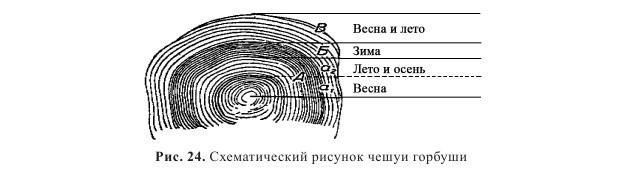 рисунок чешуи с годовыми кольцами