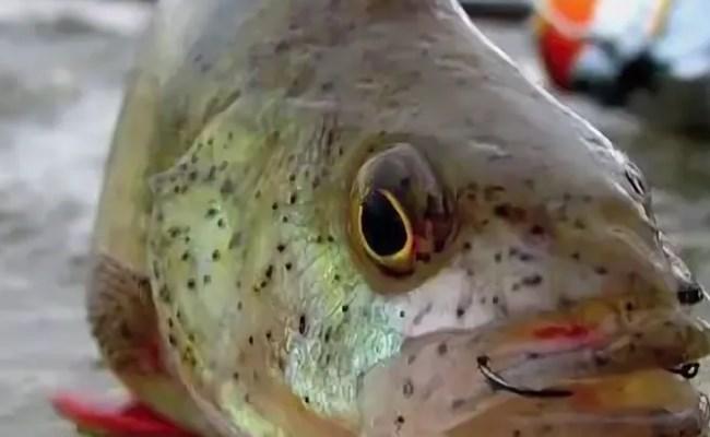 черные точки на чешуе рыбы