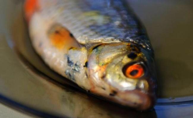 черные точки на рыбе опасность для человека