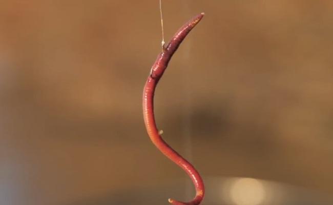 единичный большой червь