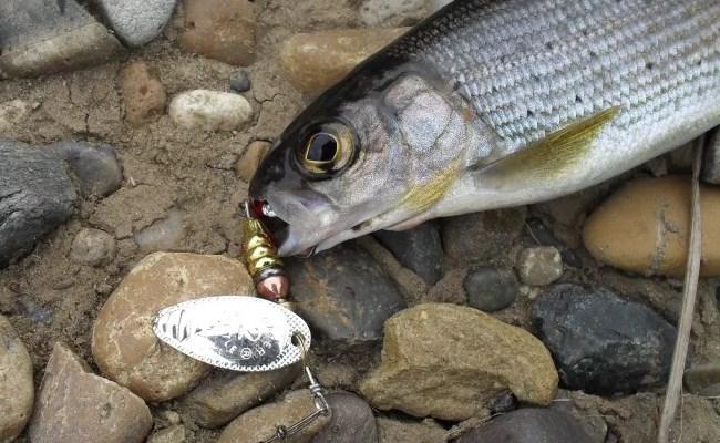хариус рыба на блесну