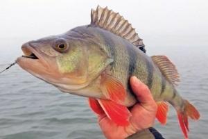 окунь рыба