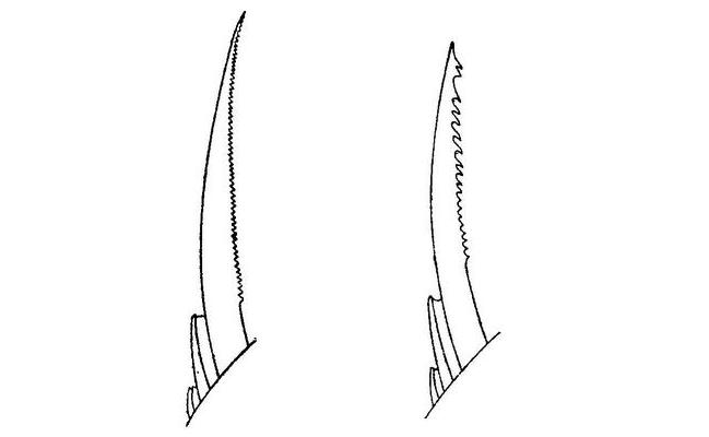 форма первого шипа спинного плавника серебряного и обыкновенного карасей