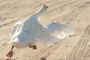 как сделать поплавок из гусиного пера
